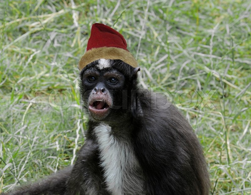 Monkey wearing a Christmas hat   Stock Photo   Colourbox