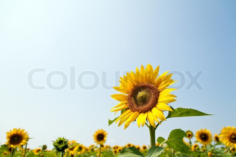 Stock image of 'Many of sunflowers in bright yellow on a field. Landscape in the summer'