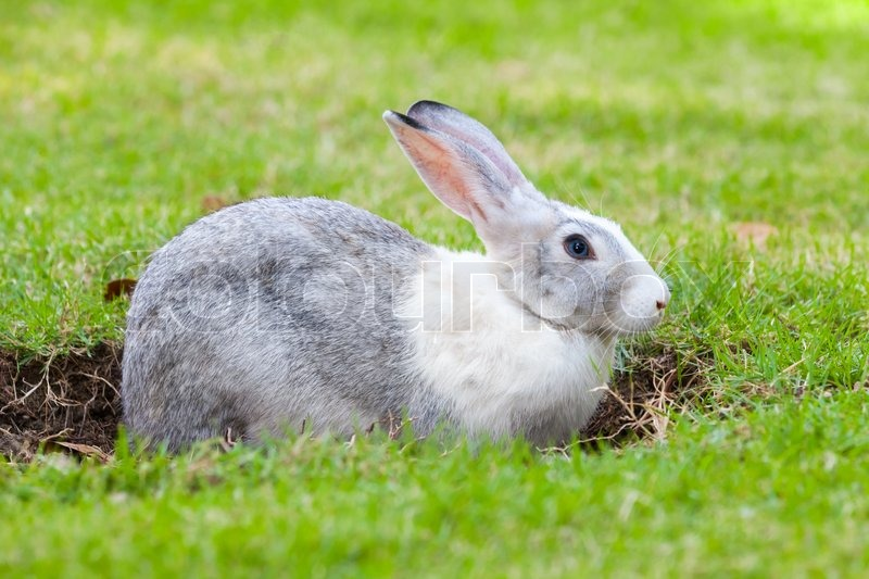 Gray and white rabbit digs a hole on green grass meadow, stock photo