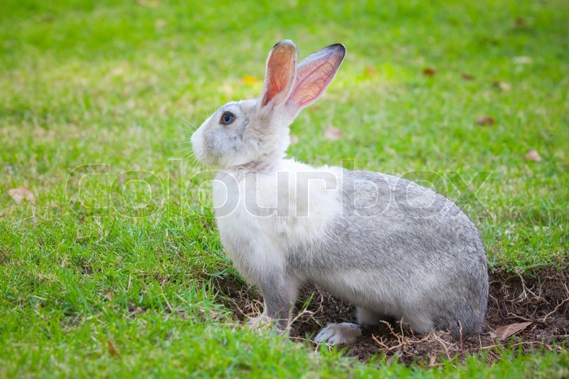 Gray and white rabbit sitting on green grass and digs a hole, stock photo