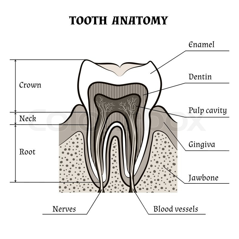 Illustration of tooth anatomy drawn in retro style. Isolated on ...