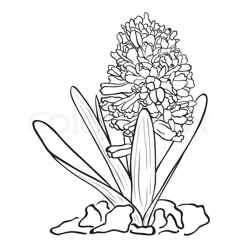 Hand drawn flowers Garden hyacinth