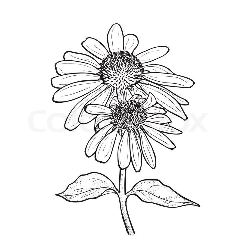 Line Drawing Coneflower : Hand drawn flowers echinacea purpurea purple coneflower