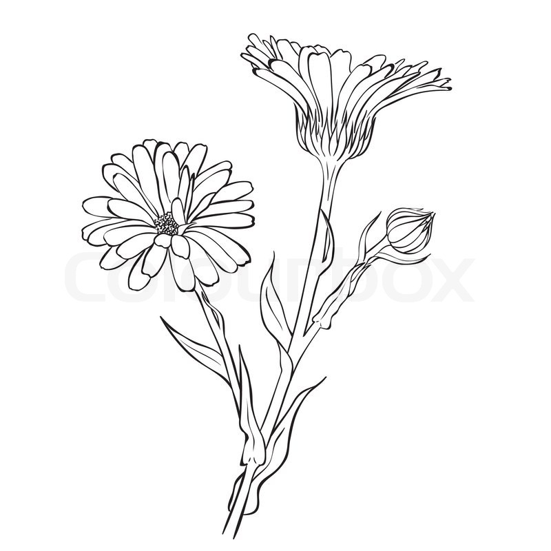 Marigold Flower Line Drawing : Hand drawn flowers calendula officinalis or pot marigold