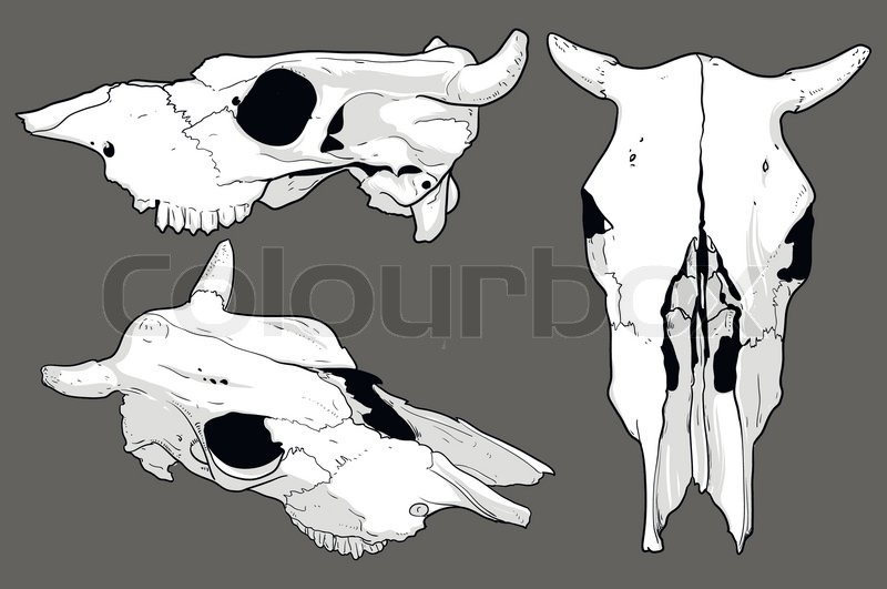 Three White Cow Skull From Different Angles Stock Vector Colourbox