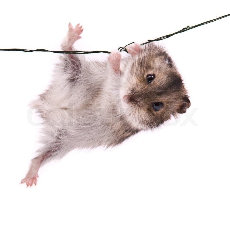 Stock image of 'funny, hamster, dwarf'
