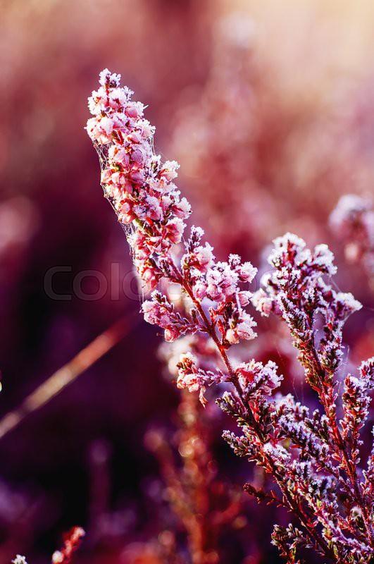 Frozen Heather Flower Floral Vintage Winter Background Macro Image