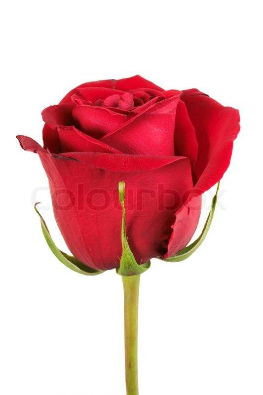 one red rose isolated on white background  close