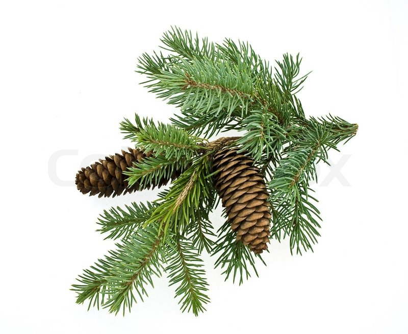 Fir tree branch with cones stock photo colourbox for Weihnachtskugeln vintage