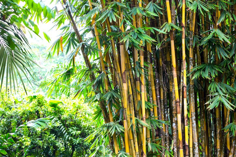 Bamboo Grove In The Jungles Of The Philippines Stock