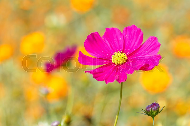 Pink Cosmos Flower In The Field Stock Photo Colourbox