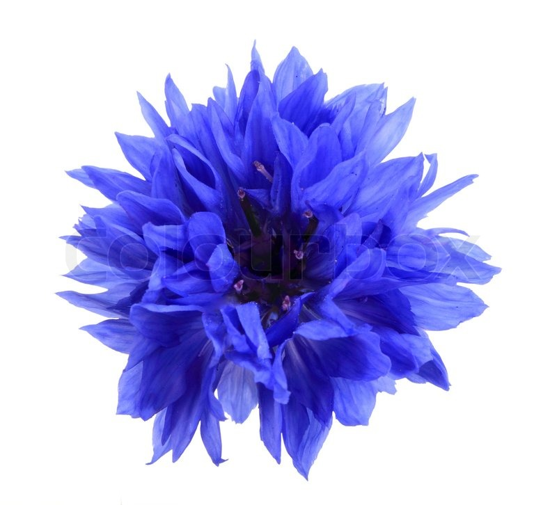 One blue flower isolated on white background. Close-up. Studio ...