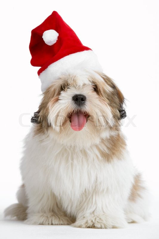 c3fc0541dc17c A cute dog with a Christmas santa hat