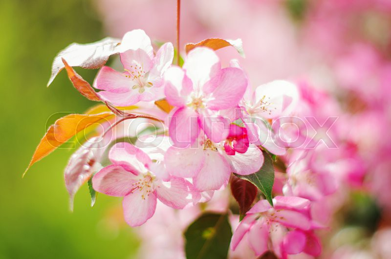 Beautiful spring flowers pink color on the trees, stock photo