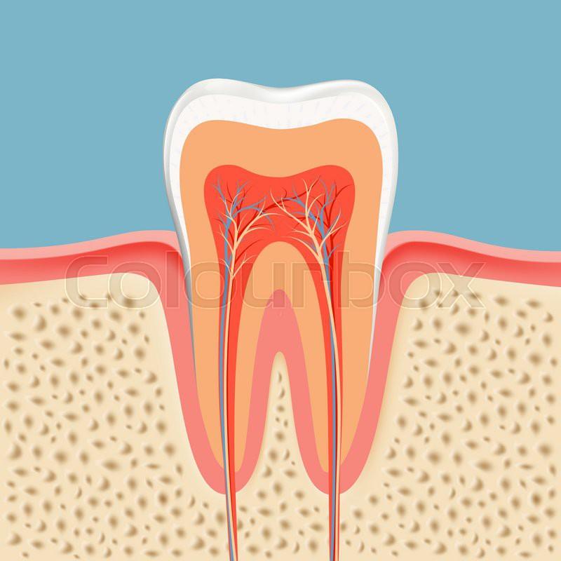 Zahn, naturwissenschaft, plaque | Vektorgrafik | Colourbox