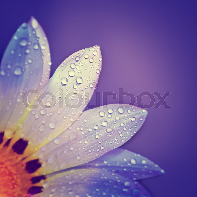 Beautiful floral border, gentle white chamomile flower with dew drops on petals on purple background, greeting card for mothers day , stock photo