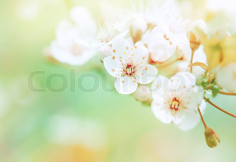 Beautiful spring blooming, gentle white fresh cherry tree flowers border on green soft focus background, spring time concept, stock photo