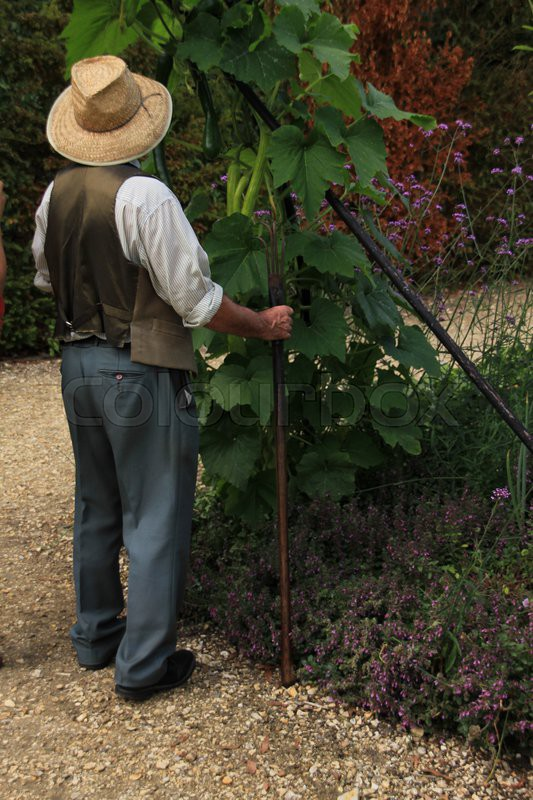 The gardener looks to the hanging zucchini in the garden in the summer in England, stock photo