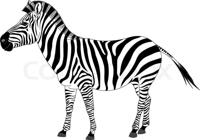 Zebra, zeichnungen, clip | Vektorgrafik | Colourbox