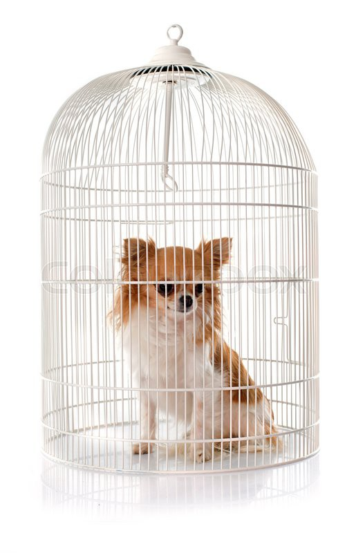Stock image of 'young chihuahua in cage in front of white background'