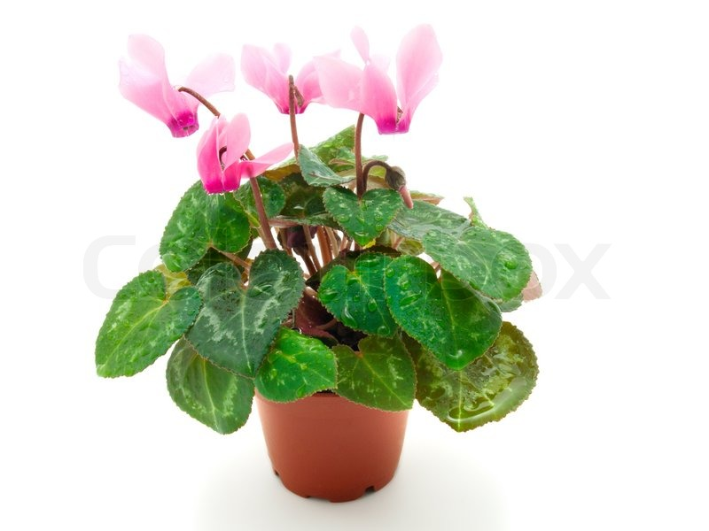 Stock image of 'Pink cyclamen in pot, isolated on a white background'