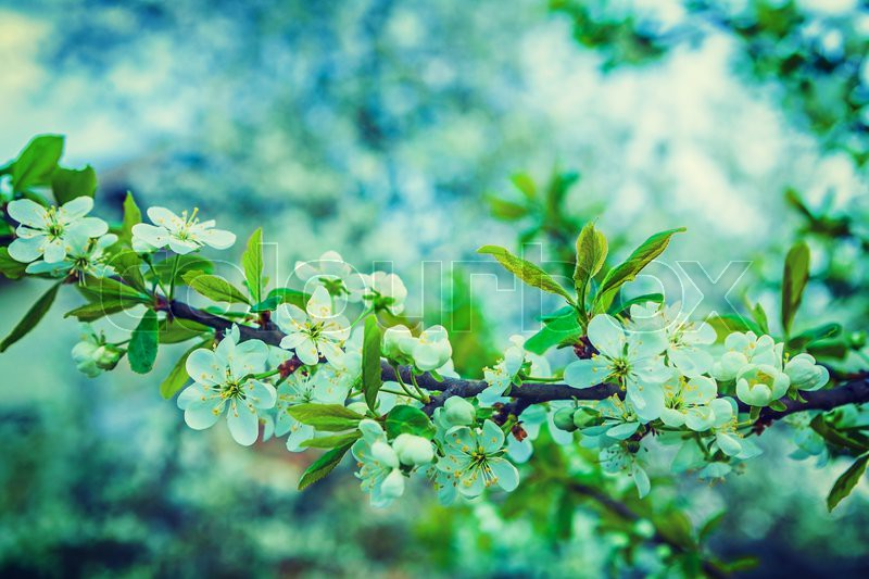 Big branch of blossoming cherry tree with white flowers floral big branch of blossoming cherry tree with white flowers floral spring bacjground instagram stile stock photo colourbox mightylinksfo
