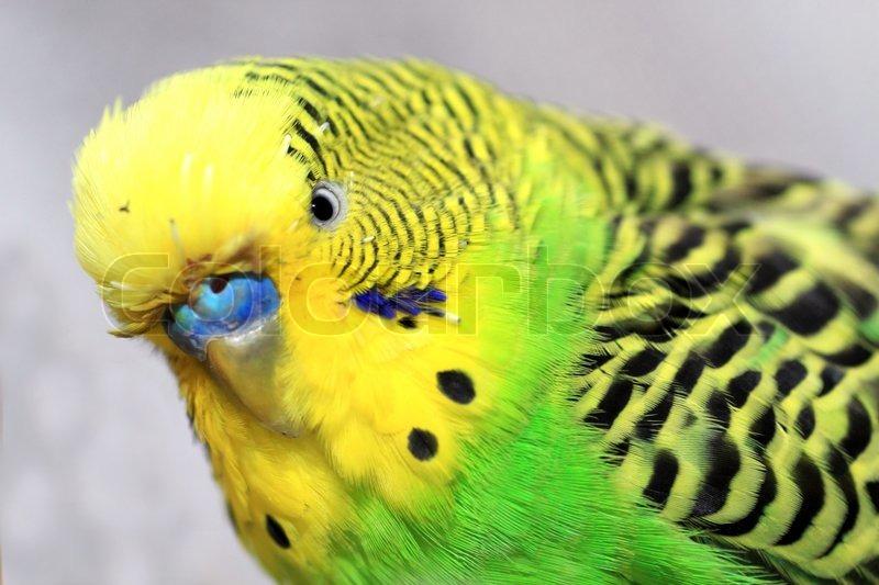 yellow parakeet stock photo colourbox