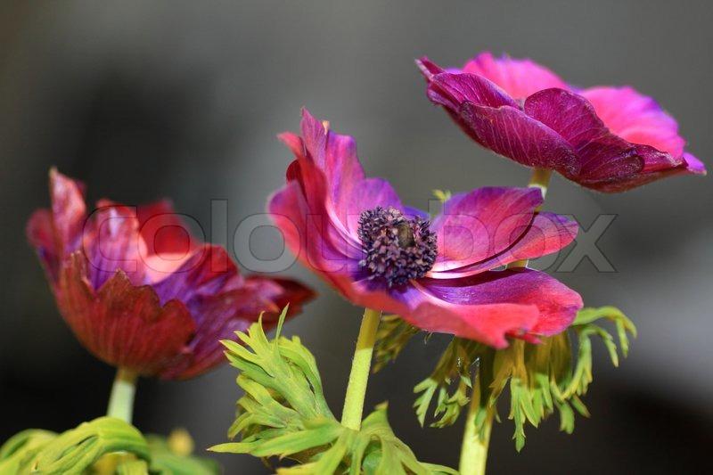 garden forum education popular plants anemones