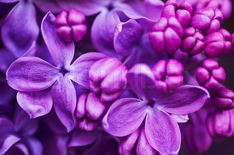 Macro image of spring lilac violet flowers, abstract soft floral background, stock photo
