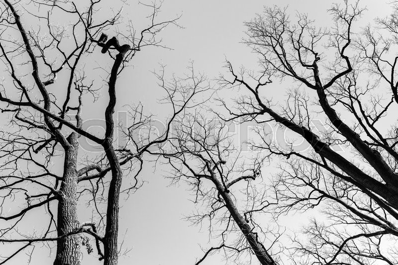 Leafless dare trees over sky background. Black and white natural background photo, stock photo
