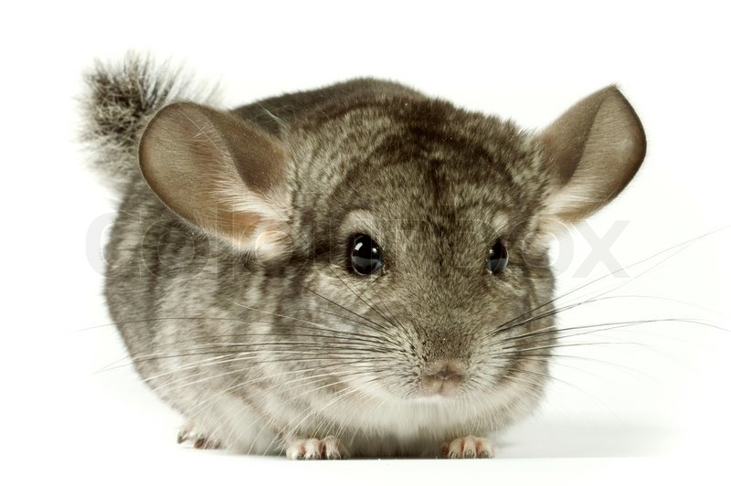Image result for Chinchilla rodents