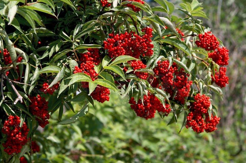Strauch mit roten beeren holunder stockfoto colourbox for Baum mit roten beeren