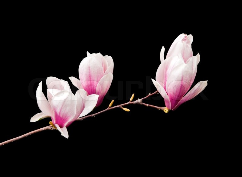 Pink magnolia flowers isolated on black background stock photo pink magnolia flowers isolated on black background stock photo colourbox mightylinksfo