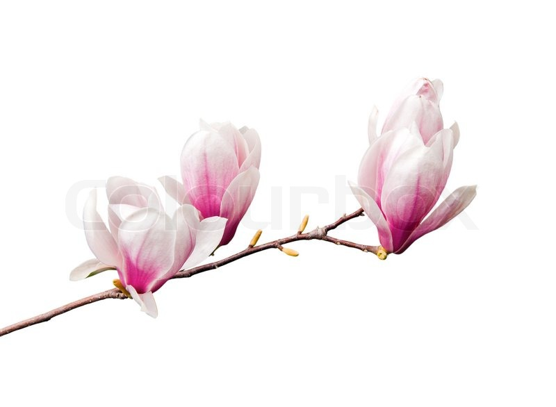 Pink Magnolia Flowers Isolated On White Stock Image Colourbox