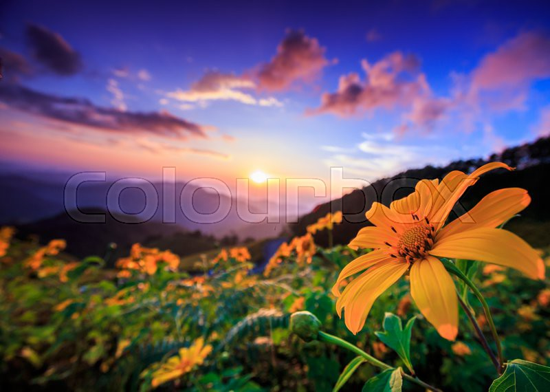 Landscape sunset nature flower Tung Bua Tong Mexican sunflower in Maehongson, Thailand, stock photo