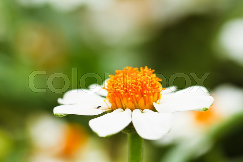 Blooming white star flowers | Stock Photo | Colourbox
