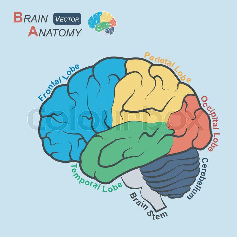 Brain Anatomy Flat Design Stock Vector Colourbox