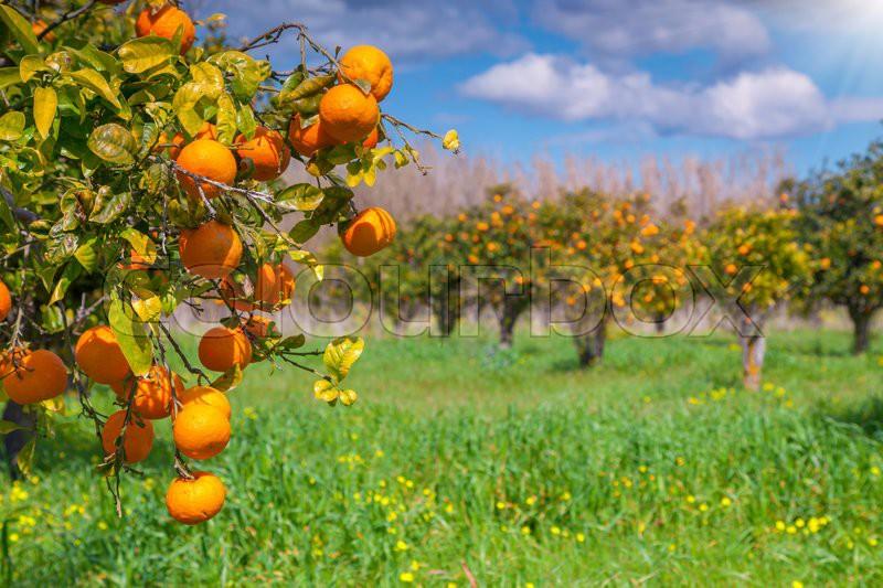 Sunny morning in orange garden in Sicily, Italy, Europe. | Stock ...