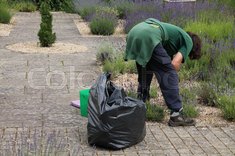 The gardener works in the garden with lavender in the summer, stock photo