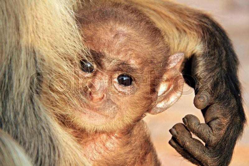 Close-up of a Baby of Gray Langur (Semnopithecus Entellus, aka Common Langur) in the Arms of the Mother, Looking into the Camera, Ranthambore, India, stock photo