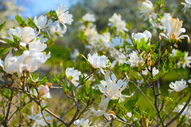 White magnolia flowers blossom in the garden sprigtime stock white magnolia flowers blossom in the garden sprigtime stock photo colourbox mightylinksfo