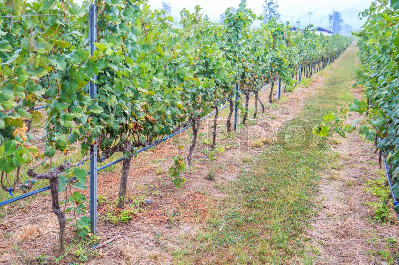 Bineyard Bunch of grapes on the vine with green leaves, stock photo