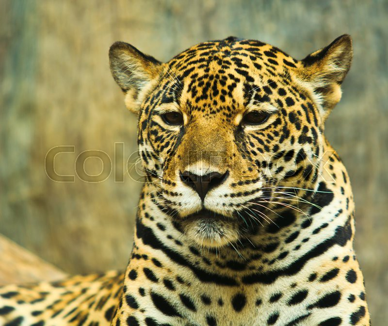 Jaguar And Lived In Central America And South America | Stock Photo |  Colourbox