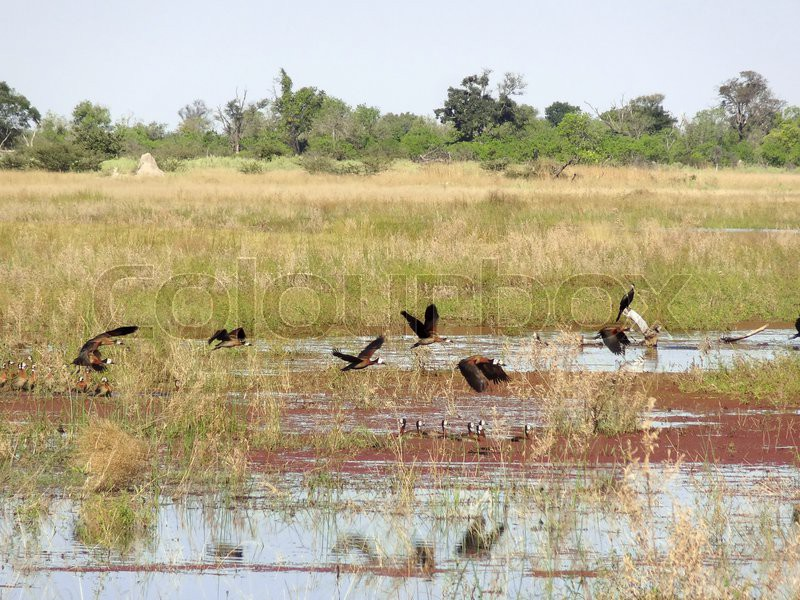 Stock image of 'a water hole and some birds at the Moremi Game Reserve in Botswana, Africa'