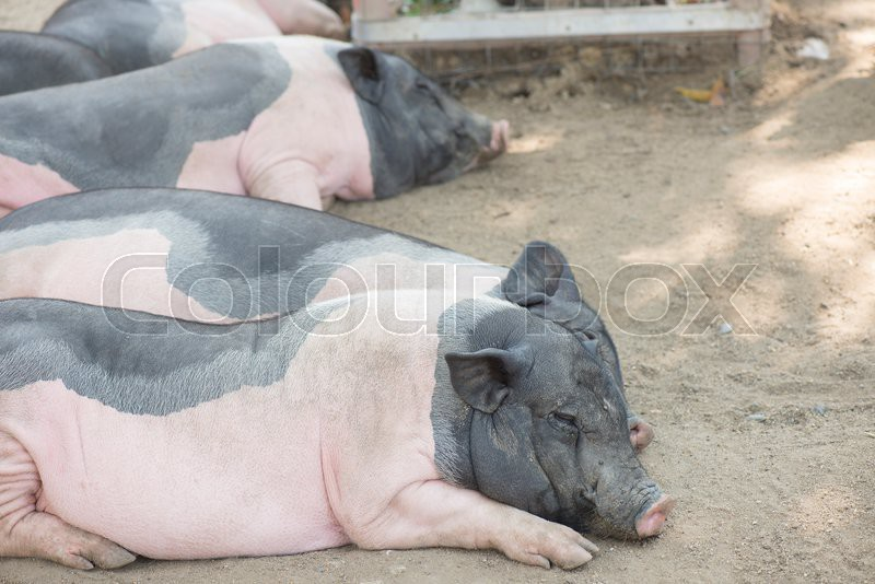 Stock image of 'Pig in livestock farm.'