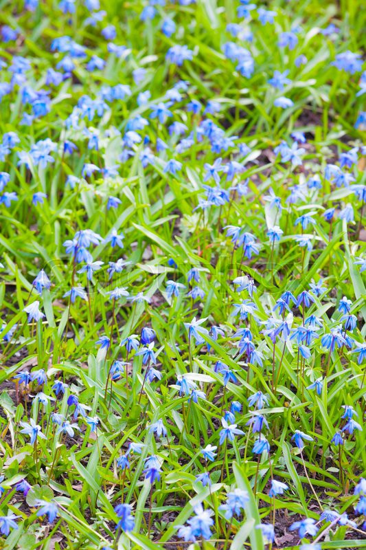 Bright Blue Spring Flowers Background Vertical Photo With Selective Focus And Shallow DOF