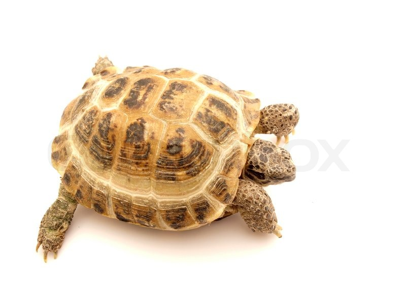 hermans tortoise turtle on a white background stock