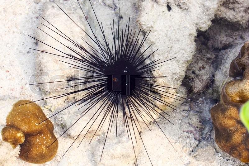 Black sea urchin (Arbacia lixula) on the sea floor, stock photo