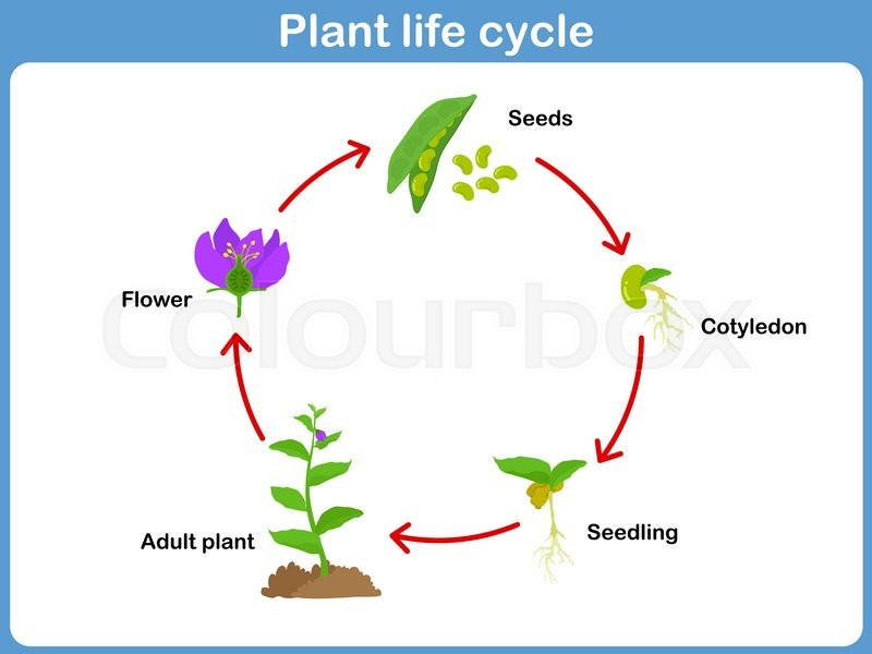 Vector Life Cycle Of A Plant For Kids Stock Vector Colourbox