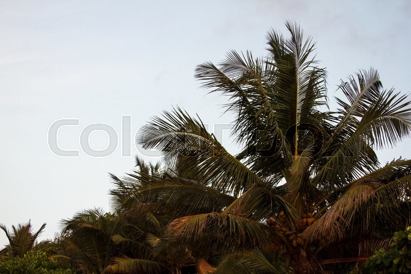 Coconut palm trees against the sky. GOA India beach. Branches of coconut palms under blue sky, stock photo